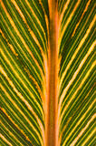 Variegated banana leaf Stock Image