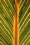 Variegated banana leaf Stock Image