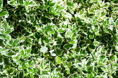 Variegated Box Hedging Stock Photos