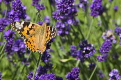 Variegated bright butterfly sitting on lavender.  royalty free stock photography