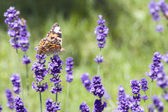 Variegated bright butterfly sitting on lavender.  stock images