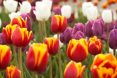 Bright lilac and red tulips blooming in the park or in the garden. Variegated and bright lilac and red tulips in a summer field or in a sunny park stock image
