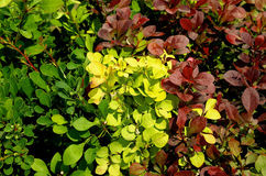 Variegated Bushes Royalty Free Stock Images