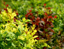 Variegated Bushes Stock Photos