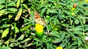Variegated butterfly sits on a yellow flower stock video footage