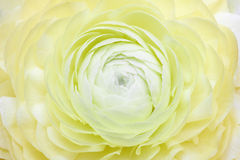Variegated camellia. In full bloom Stock Photography
