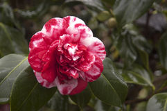 Variegated camellia Stock Photography