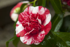 Variegated camellia Stock Photos