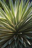 Variegated Caribbean Agave Royalty Free Stock Image