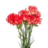 Variegated carnation. Variegated red and orange carnation flowers isolated on white background Stock Photo