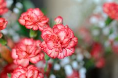 Variegated carnations Stock Photography