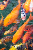 Variegated carp Stock Photos