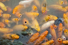 Variegated carps swimming in the lake Stock Image