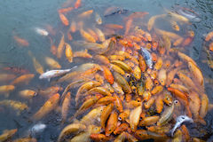 Variegated carps swimming in the lake Stock Photo