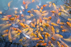 Variegated carps swimming in the lake Royalty Free Stock Photos