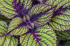 Variegated Coleus Leaves Stock Photography