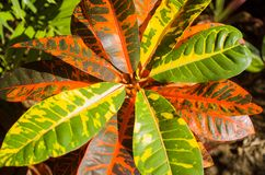 Variegated Croton Stock Photos