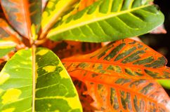 Variegated Croton Royalty Free Stock Image