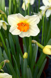 Variegated daffodil or narcissus Royalty Free Stock Image
