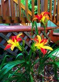 Garden of  Daylilies Flowers Royalty Free Stock Photo