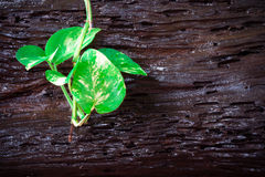 Variegated Devil's Ivy climbing on a Log Stock Photos