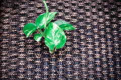 Variegated Devils Ivy on brown handicraft weave texture Stock Image