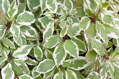 Variegated dogwood. Cornus Royalty Free Stock Images