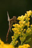 Variegated dragonfly meadowhawk на goldenrod Стоковые Изображения RF