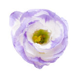 Variegated eustoma Royalty Free Stock Images