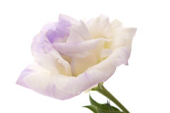 Variegated eustoma Royalty Free Stock Image