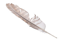 Variegated falcon feather isolated on white Royalty Free Stock Photography