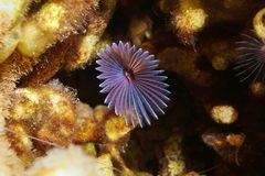 Variegated feather duster worm Bispira variegata Stock Photo
