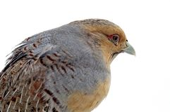 Variegated fins partridge Royalty Free Stock Image