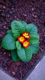 Variegated flower. S red and yellow winter colour Royalty Free Stock Photos