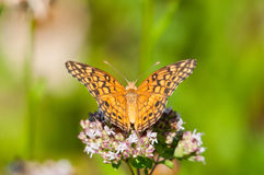Variegated Fritallary Royalty Free Stock Photos