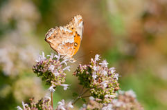 Variegated Fritallary. Feeding on wildflowers royalty free stock photos