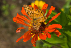 Variegated Fritillary Royalty Free Stock Photography