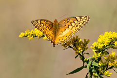Variegated Fritillary Butterfly Royalty Free Stock Photography