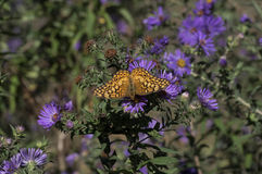 Variegated Fritillary on New England Aster Stock Image