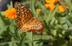 Variegated Frittilary Butterfly. A Beautiful Variegated Frittilary Butterfly feeding on a Flower stock photo