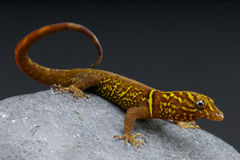 Variegated gecko / Gonatodes cecilae Royalty Free Stock Photos