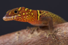 Variegated gecko / Gonatodes ceciliae Stock Images