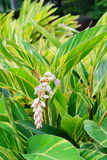 Variegated Ginger Royalty Free Stock Photos