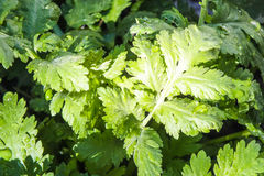 Variegated Green Foliage After the Rain Stock Image
