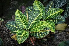 Variegated Green Leaf Plant Background Abstract stock photo
