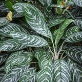 Variegated Green Leaf Plant Background Abstract stock photography