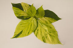 Variegated green leaves. On clear board Stock Images