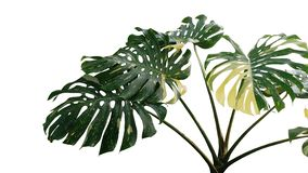 Variegated green yellow leaves of Monstera or split-leaf philodendron Monstera deliciosa the tropical foliage plant, popular. Indoor houseplant isolated on royalty free stock image