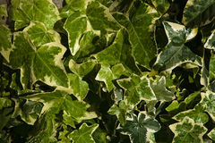 A variegated Hedera helix cultivar. Ivy, plural ivies (Hedera) is a genus of 12–15 species of evergreen climbing or ground-creeping woody plants in the family Royalty Free Stock Photography