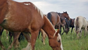 Variegated herd of horses. Slowly goes on a pasture stock footage